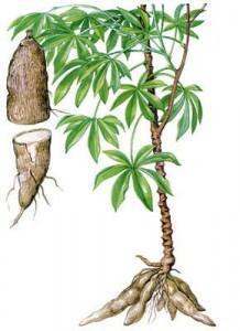 Cliquez reconnaître. La racine de manioc se mange cuite