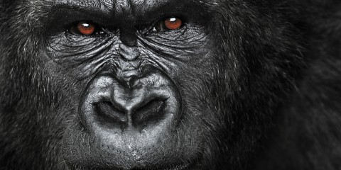 attaque-gorille
