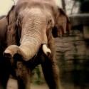 Survivre à l'attaque d'un éléphant