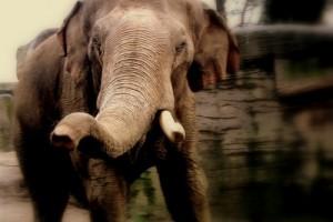 Charge d'éléphant
