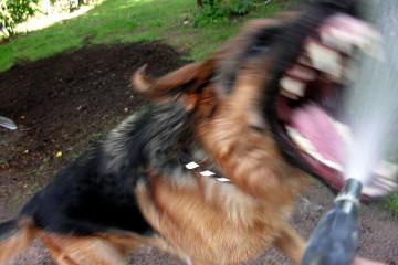chien_attaque_agressif