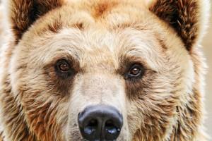 ours-attaque