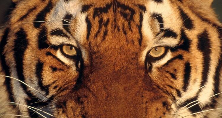 comment survivre face un tigre en inde comme en seine et marne guide de survie. Black Bedroom Furniture Sets. Home Design Ideas